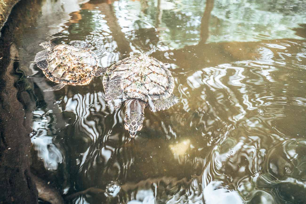 turtles at serenity island fiji
