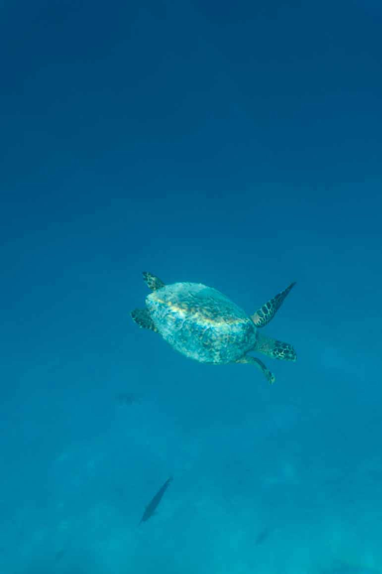 turtle at The Residence Maldives