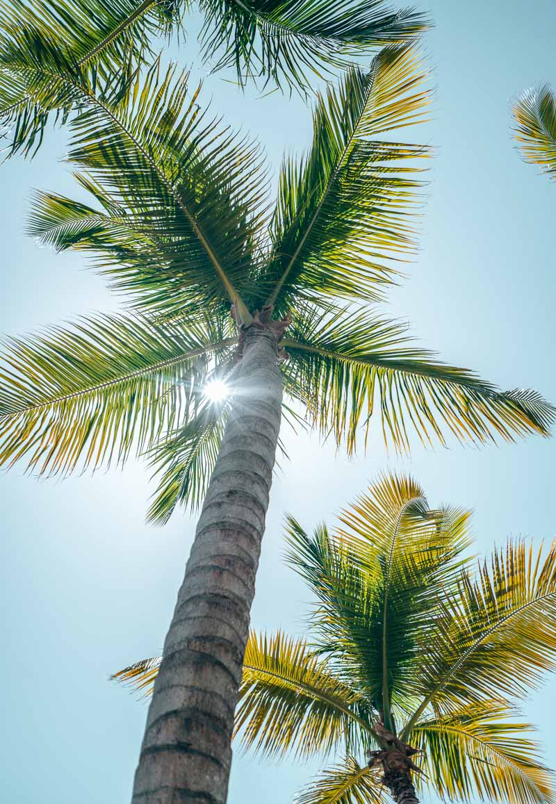 Westin Punta Cana palm tree